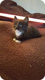 Domestic Mediumhair Kitten for adoption in Tampa, Florida - Chewbacca