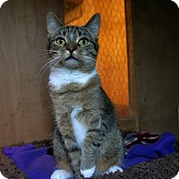 Domestic Shorthair Cat for adoption in Manitowoc, Wisconsin - Socks