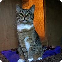 Adopt A Pet :: Socks - Manitowoc, WI