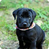 Labrador Retriever Mix Puppy for adoption in Conroe, Texas - Neo