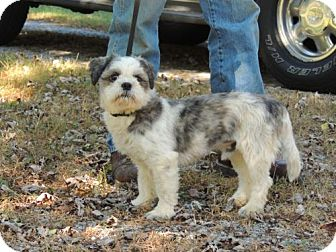 Shih Tzu Dog for adoption in Franklin, Tennessee - CHICO