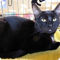 Bombay Cat for adoption in Mission Viejo, California - Sashay