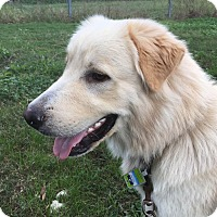 Golden Retriever/Great Pyrenees Mix Dog for adoption in Kyle, Texas - Baxter