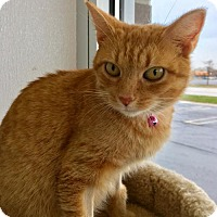 Domestic Shorthair Cat for adoption in Livonia, Michigan - C23 Litter-Jade (PSP)