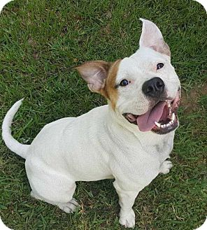 Pit Bull Terrier Mix Dog for adoption in Boston, Massachusetts - Lucky Luciano