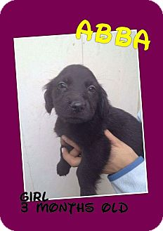 Labrador Retriever/Retriever (Unknown Type) Mix Puppy for adoption in LAKEWOOD, California - Abba