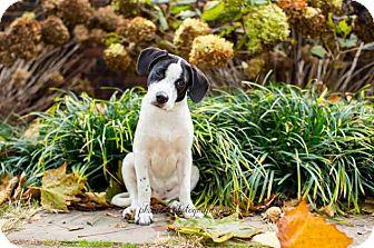 Pointer/Labrador Retriever Mix Puppy for adoption in Pittsburgh, Pennsylvania - Lydia Deetz