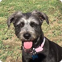 Adopt A Pet :: STELLA ROSA - Palm Desert, CA