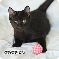 Adopt A Pet :: Jelly Bean - Hot Springs Village, AR