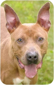 American Pit Bull Terrier Mix Dog for adoption in Chicago, Illinois - Boogie