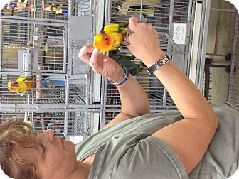 Conure for adoption in Punta Gorda, Florida - Tinga
