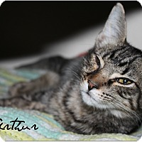 Domestic Shorthair Cat for adoption in McKinney, Texas - Arthur