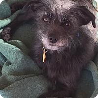 Adopt A Pet :: Archie - Surrey, BC