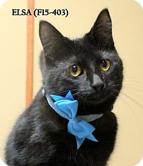 American Shorthair Cat for adoption in Tiffin, Ohio - ELSA