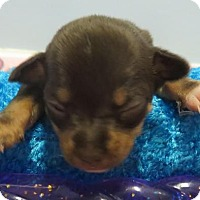 Adopt A Pet :: Dottie's Puppy 1 - $250 - Seneca, SC