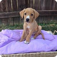Adopt A Pet :: Raven Girl - New Oxford, PA