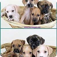 Adopt A Pet :: Peaches Pups - Bloomington, MN