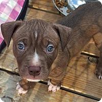 Adopt A Pet :: Hershey - Troy, MI