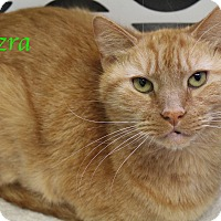 Domestic Shorthair Cat for adoption in Bradenton, Florida - Ezra
