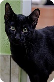 Domestic Shorthair Cat for adoption in Albuquerque, New Mexico - Kit