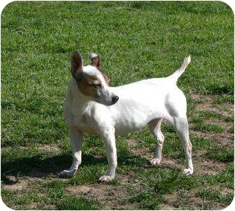 Jack Russell Terrier Dog for adoption in Columbia, Tennessee - The Flying Nun