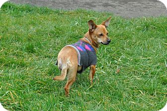 Chihuahua Mix Puppy for adoption in Tumwater, Washington - Joy