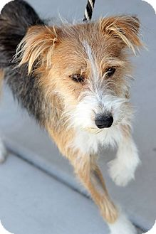 Beagle Wirehaired Terrier Mix