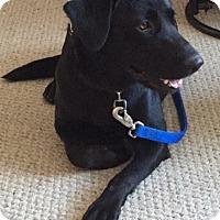 Adopt A Pet :: Joe Black 2015 (m/c) - Chesterfield, MI
