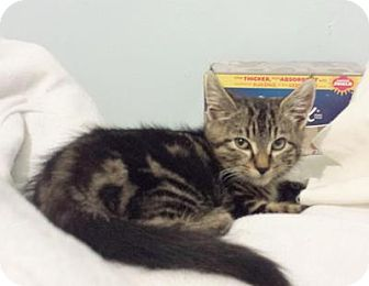 Domestic Shorthair Cat for adoption in Queens, New York - Tigger