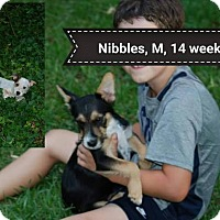 Adopt A Pet :: Nibbles in CT - Manchester, CT