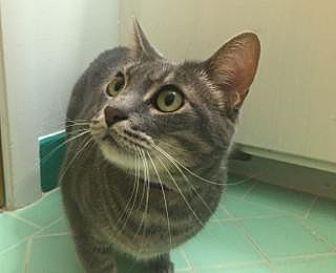 Domestic Shorthair Cat for adoption in Palo Alto, California - Gracie