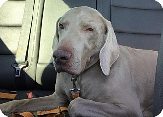Weimaraner Dog for adoption in Denton, Texas - Booberry 'Boo'