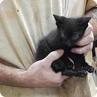 Domestic Shorthair Kitten for adoption in Pikeville, Kentucky - Tootsie