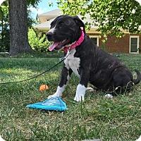 Adopt A Pet :: Rumor - Columbia, MD