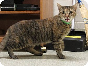 Domestic Shorthair Cat for adoption in Windsor, Virginia - Susie
