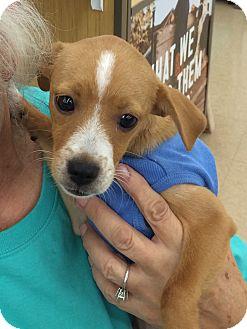 Terrier (Unknown Type, Small) Mix Puppy for adoption in Schertz, Texas - Lucky