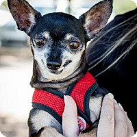 Chihuahua Dog for adoption in Tucson, Arizona - Peanut