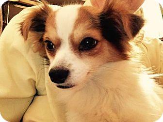 Papillon Dog for adoption in Waldron, Arkansas - ZIZANIE BARKLEY
