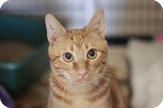 Domestic Shorthair Kitten for adoption in Kyle, Texas - JAM