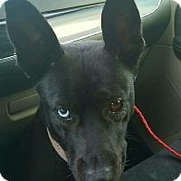 Adopt A Pet :: Clementine - Las Vegas, NV