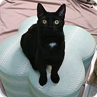 Adopt A Pet :: Midnight - Austintown, OH