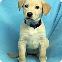 Adopt A Pet :: DARLING - Westminster, CO