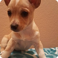 Terrier (Unknown Type, Medium) Mix Puppy for adoption in Westminster, Colorado - Lauren