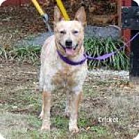 Adopt A Pet :: Cricket - Madisonville, TN
