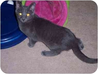 Russian Blue Kitten for adoption in Delmont, Pennsylvania - Johnny