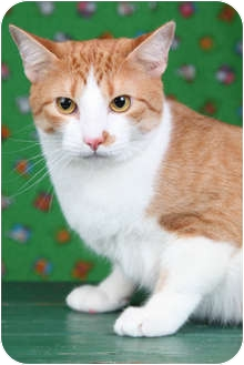 Domestic Shorthair Cat for adoption in Garland, Texas - Barney