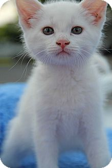 Domestic Shorthair Kitten for adoption in Yuba City, California - Casper