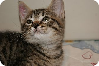 Domestic Shorthair Kitten for adoption in Bensalem, Pennsylvania - Denver