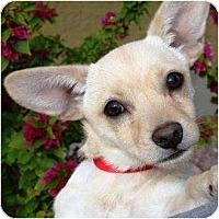 Adopt A Pet :: Zippy - Gilbert, AZ