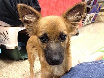 Spaniel (Unknown Type)/Pomeranian Mix Dog for adoption in Fresno, California - Mr. Blitzer